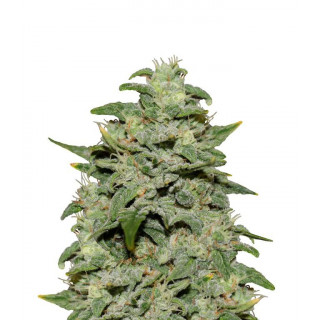 Marijuana horticulture medical growers