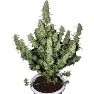 Rhizotonic Canna 250 ml