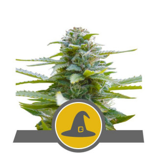 Short Flowering Powder Feeding 125 gr