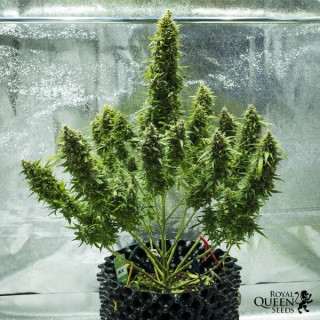 Power roots plagron 100 ml