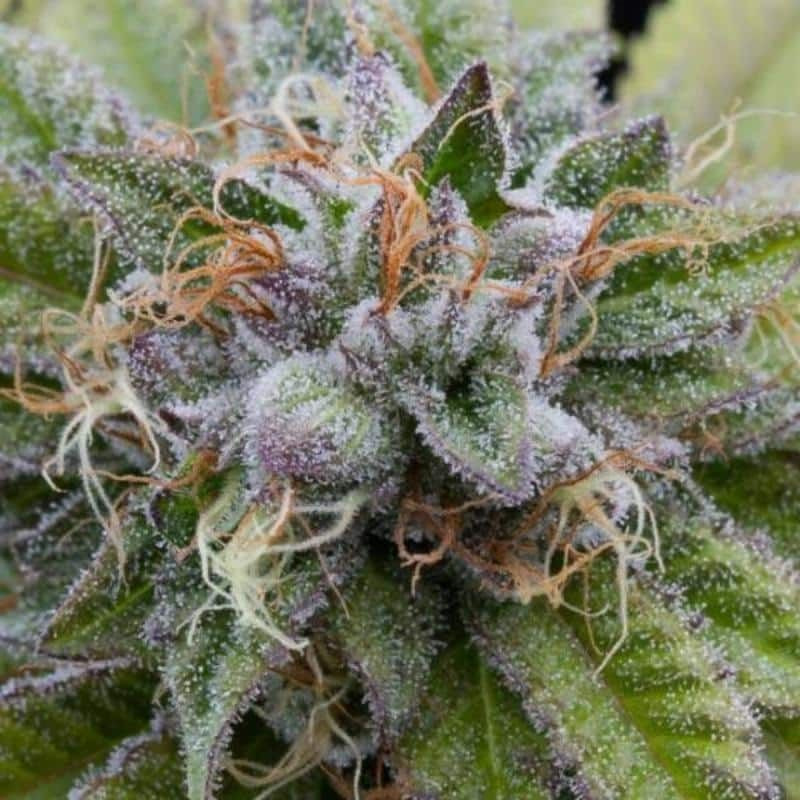 Garlic beast total protect 500 ml