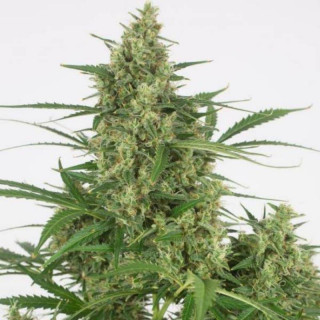 Grotek final flush 1 litre