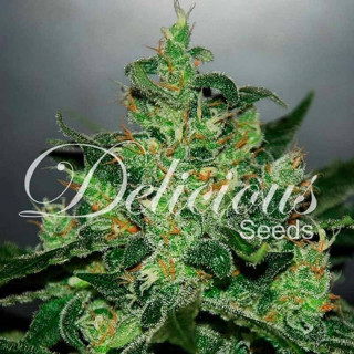 Orchid focus bloom 1 litre