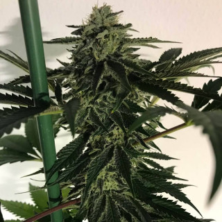 Orchid focus grow 1 litre