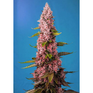 Solution 3 ACID down 5 litres hydropassion