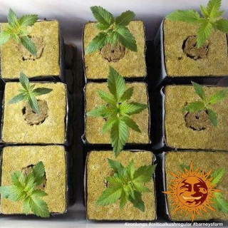 Vita race plagron 100 ml